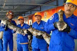 В Малайзии умер самый длинный питон