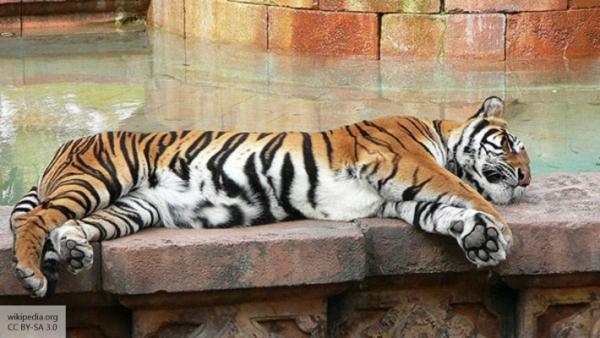 Тигр во Флориде насмерть растерзал смотрительницу зоопарка