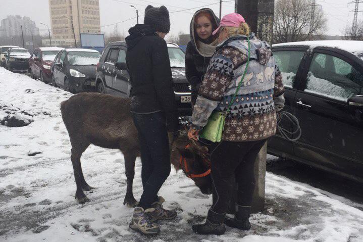 В Питере полицейские пытались поймать дикого оленя, люди шутят: Хотели оштрафовать за нарушение ПДД