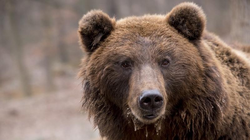 Полиция ищет жителя Таганрога, который выгуливал медведя без намордника