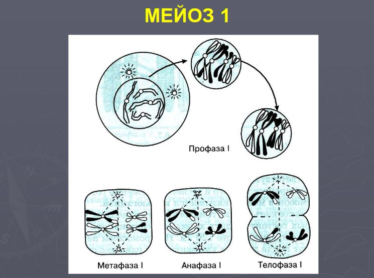 Схема мейоза