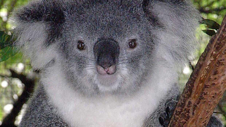 «Такое возможно только в Австралии»: коала нашла удочку и три часа ловила рыбу