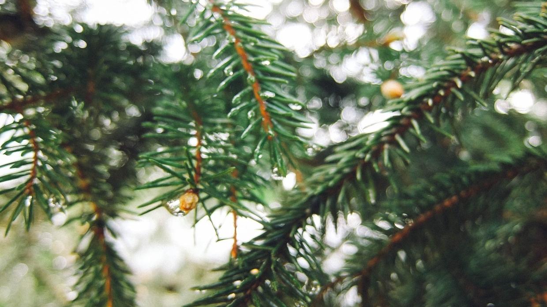 В Крыму хитрые торговцы выбросили на улицу десятки нераспроданных елок