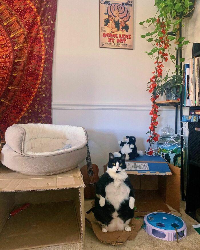 Толстая кошка покорила Сеть смешной позой и сходством с пингвоном