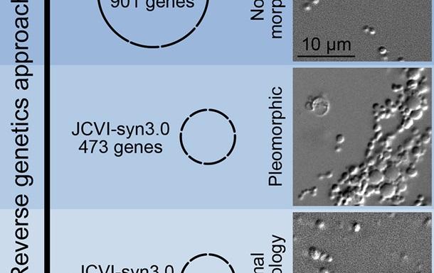 Написанный на компьютере геном способен к делению - исследование