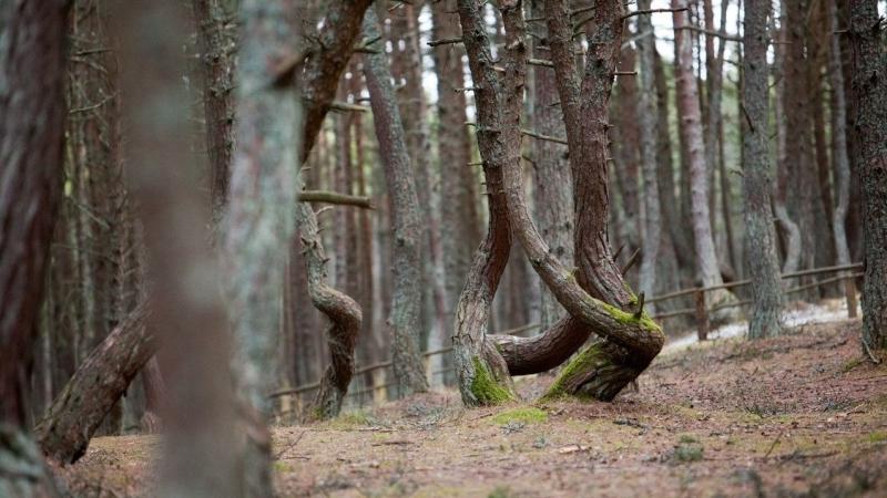 Достопримечательность Куршской косы «Танцующий лес» закроют на ремонт этим летом