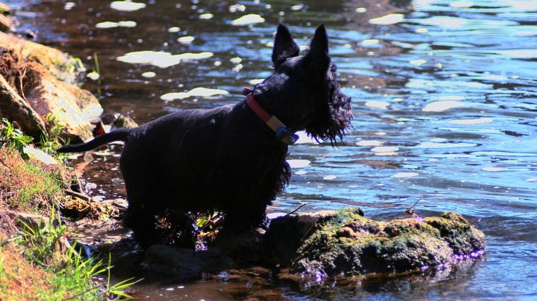 Шотландский терьер любит воду так же страстно, как и охоту